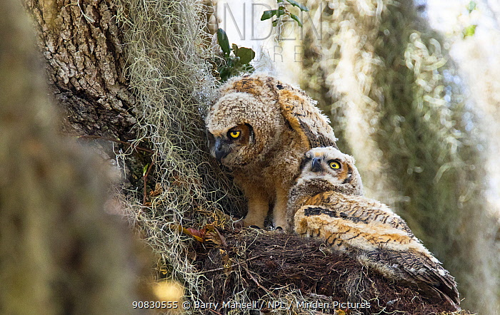 Great horned owl (Bubo virginianus) young,  North Florida, USA, March.