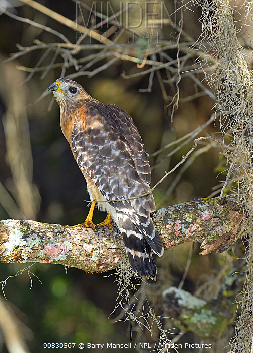 Red-shouldered hawk (Buteo lineatus) North Florida, USA, January.