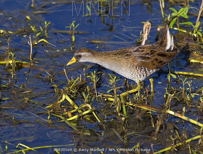 Sora rail (Porzana carolina) foraging at waters edge, North Florida, USA, October.