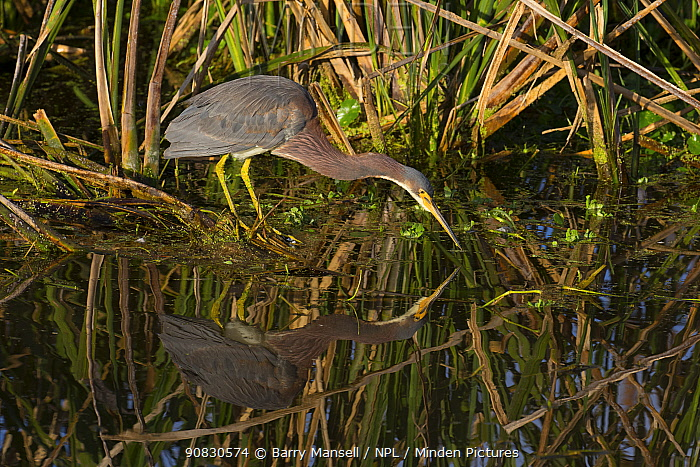 Tricolored heron (Egretta tricolor) Sweetwater Refuge, Gainesville, Florida, USA, December.
