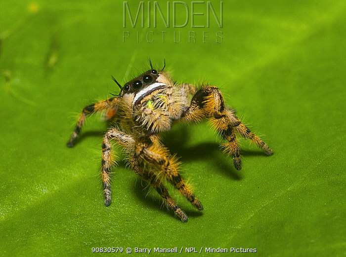 Canopy jumping spider (Phidippus otiosus) male, North Florida, USA, September,