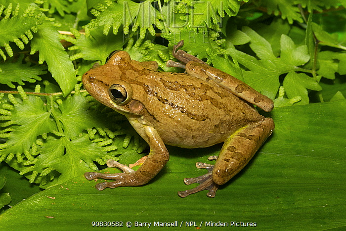 Cuban tree frog (Osteopilus septentrionalis) Jacksonville, Florida, USA, September. Introduced species.