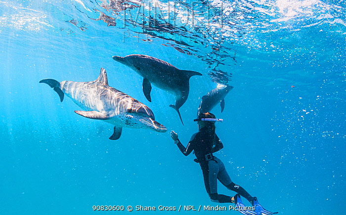 Woman snorkels with Atlantic spotted dolphins (Stenella frontalis) off Bimini, Bahamas.