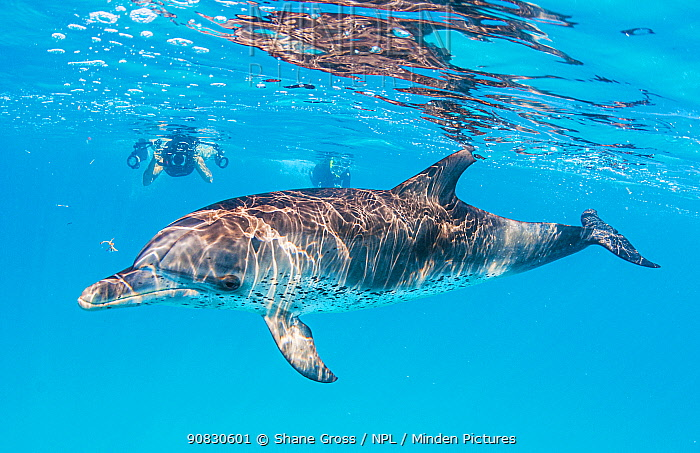 Woman snorkelling with Atlantic spotted dolphin (Stenella frontalis) off Bimini, Bahamas.