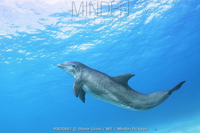 Bottlenose dolphin (Tursiops truncatus) underwater off Abaco, Bahamas.