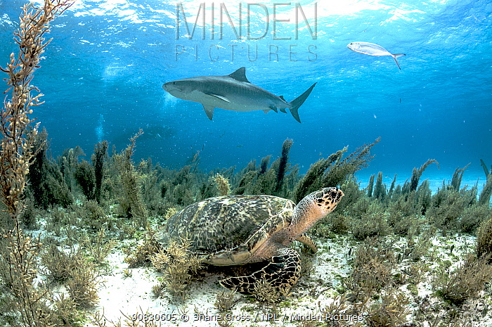 Hawksbill sea turtle (Eretmochelys imbricata) hiding in the sargassum seaweed as a tiger shark (Galeocerdo cuvier) swims past. Image made off Grand Bahama Island, Bahamas.