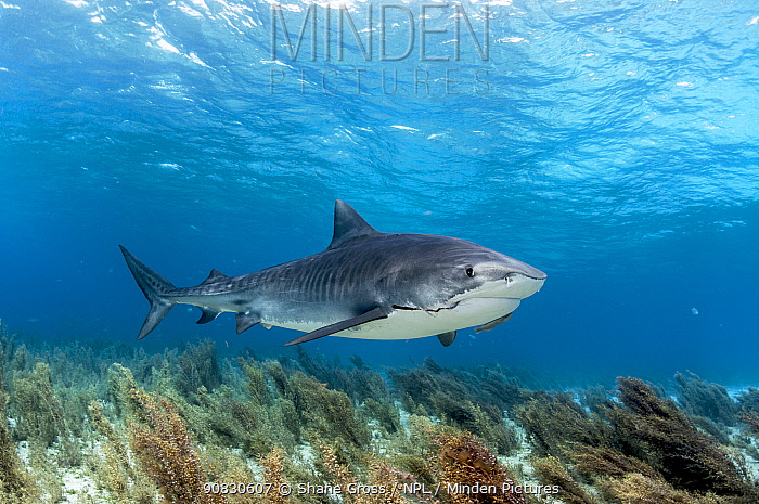 Tiger shark (Galeocerdo cuvier) swimming over sargassum seaweed with an old, algae covered fishing hook in her mouth. Grand Bahama Island, Bahamas.