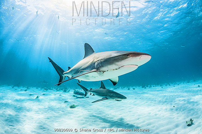 Two Caribbean reef shark (Carcharhinus perezi) one with a fishing hook and line and one with a broken jaw from catch and release shark fishing. The Bahamas.