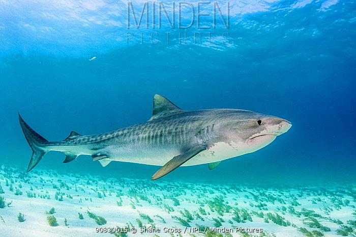 Tiger shark (Galeocerdo cuvier) in shallow waters off Grand Bahama Island, Bahamas.