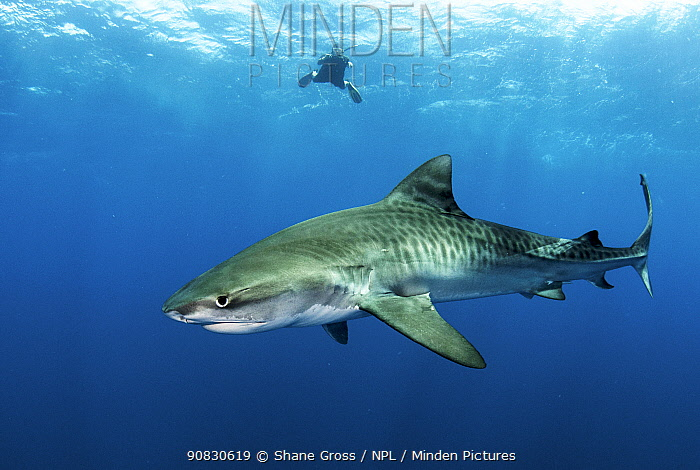 Tiger shark (Galeocerdo cuvier) in open ocean with freediver in the background. Eleuthera, Bahamas.