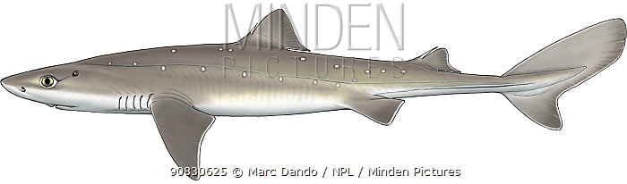Illustration of Spiny dogfish (Squalus acanthias) lateral view of female. Images 1626307 - 1626310 show variation in skin patterns in this species.