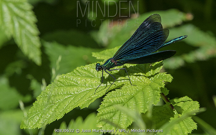Beautiful demoiselle (Calopteryx virgo), male, Finland, July.