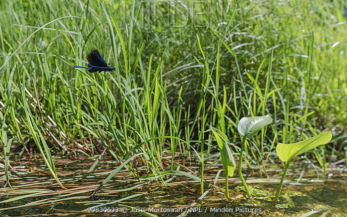 Beautiful demoiselle (Calopteryx virgo), male flying over small river, Finland, July.