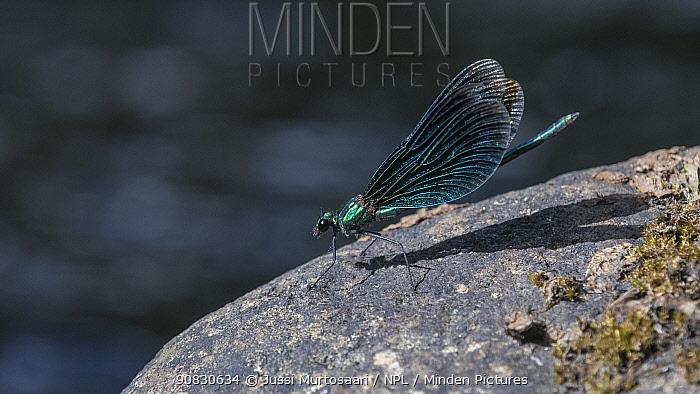 Beautiful demoiselle (Calopteryx virgo), male, Finland, August.