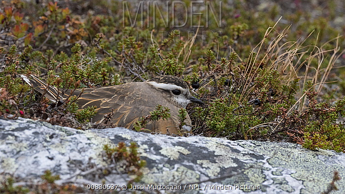 Eurasian dotterel (Charadrius morinellus), adult brooding young, Finland, June.