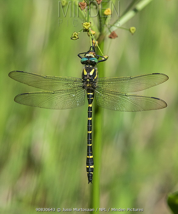 Golden-ringed dragonfly (Cordulegaster boltonii), male rests, Finland, August.