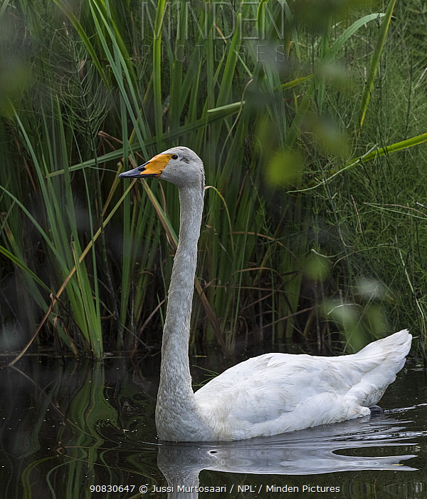 Whooper swan (Cygnus cygnus), adult, Finland, August.