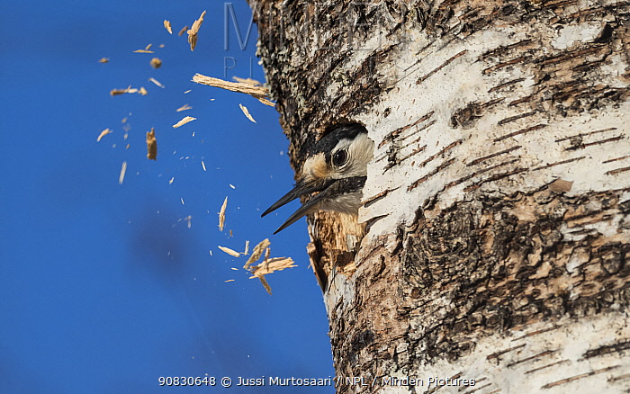 White-backed woodpecker (Dendrocopos leucotos), female excavating nest in birch tree, expelling wood chips from hole, Finland, April.