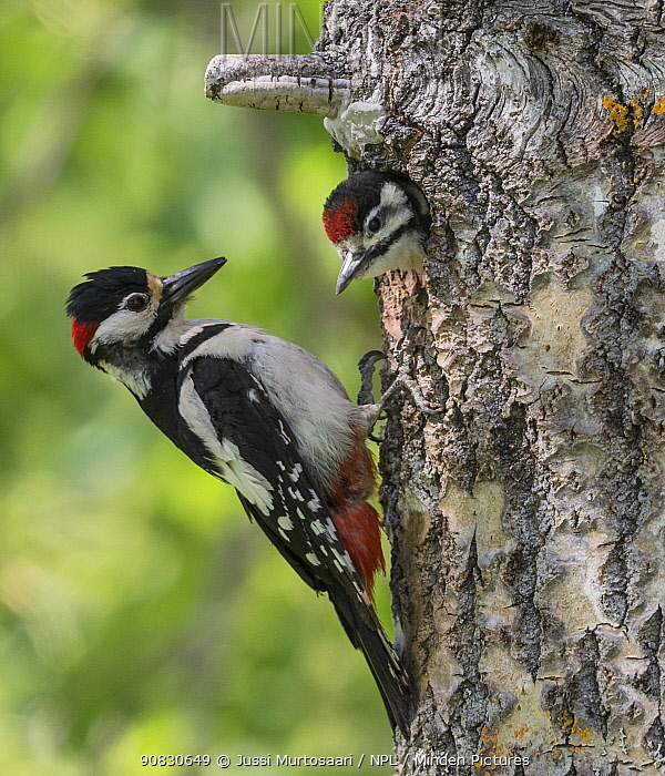 Great spotted woodpecker (Dendrocopos major), male feeding juvenile in nest, Finland, June.