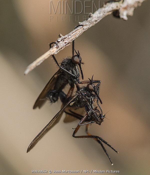 Dance fly (Empis borealis), mating pair, Finland, May.