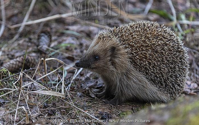 European hedgehog (Erinaceus europaeus), Finland, April.