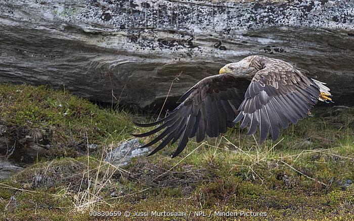White-tailed eagle (Haliaeetus albicilla), in flight, Norway. June.