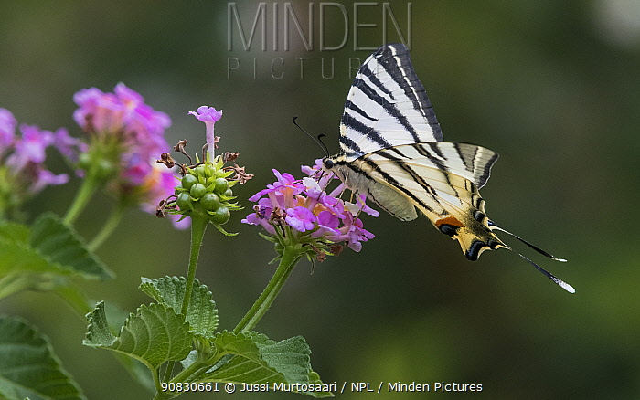 Scarce swallowtail (Iphiclides podalirius) feeding on flowers, Finland, July.