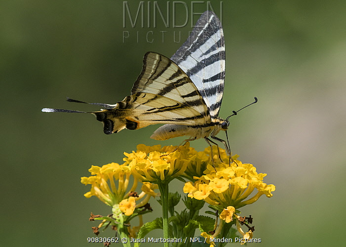 Scarce swallowtail butterfly (Iphiclides podalirius), Finland, July.