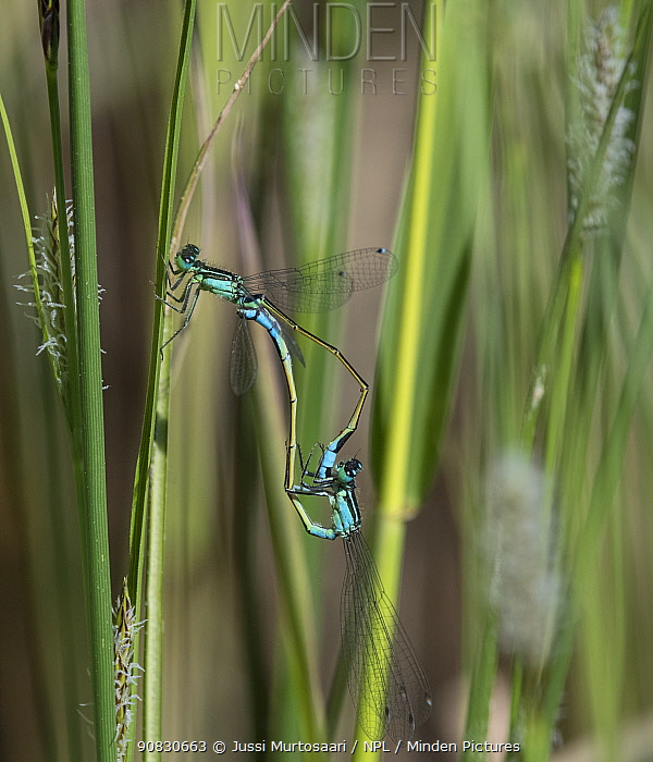Blue-tailed damselfly (Ischnura elegans) male and female mating, Finland, May.