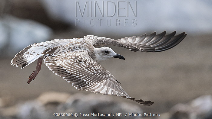 Caspian gull (Larus cachinnans), juvenile in flight, Finland, August.