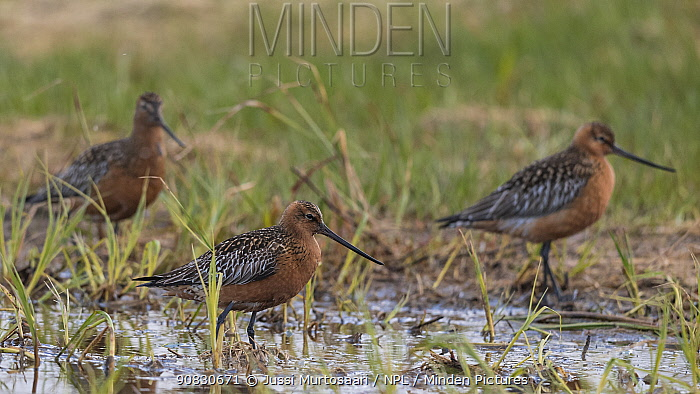 Bar-tailed godwit (Limosa lapponica), males, Finland, June.