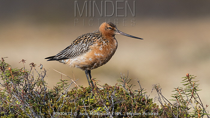 Bar-tailed godwit (Limosa lapponica), male, Finland, June.