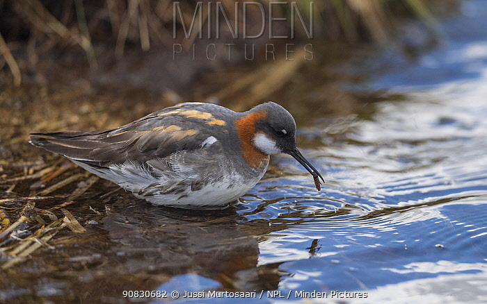 Red-necked phalarope (Phalaropus lobatus) at waters edge, Finland