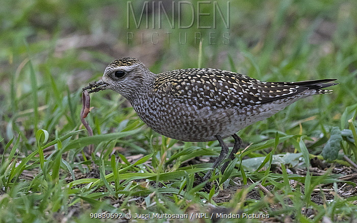 American golden plover (Pluvialis dominica), feeding on worm, Finland, October.