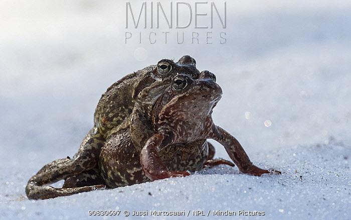 European common frog (Rana temporaria), pair in amplexus in snow, Finland, May.