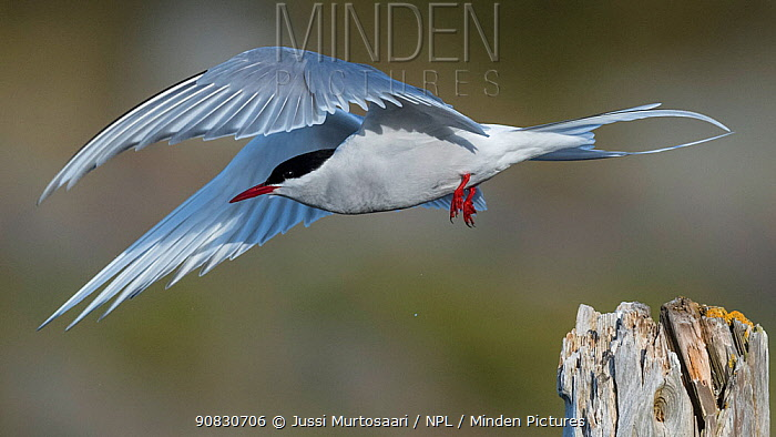 Arctic tern (Sterna paradisaea) adult taking off from post, Finland, May.