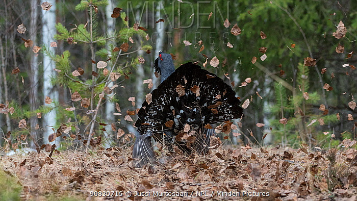 Western capercaillie (Tetrao urogallus), male displaying at lek, Finland, April.