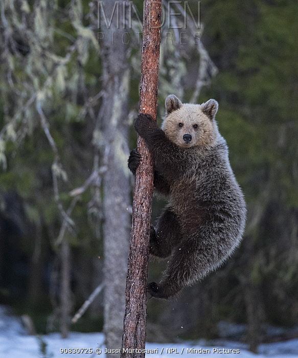Brown bear (Ursus arctos),climbing tree in snow, Finland, May.