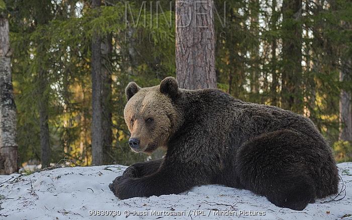 Brown bear (Ursus arctos), in snow, Finland, May.