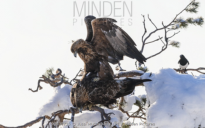 Golden eagle (Aquila chrysaetos), mating pair, Finland.February.