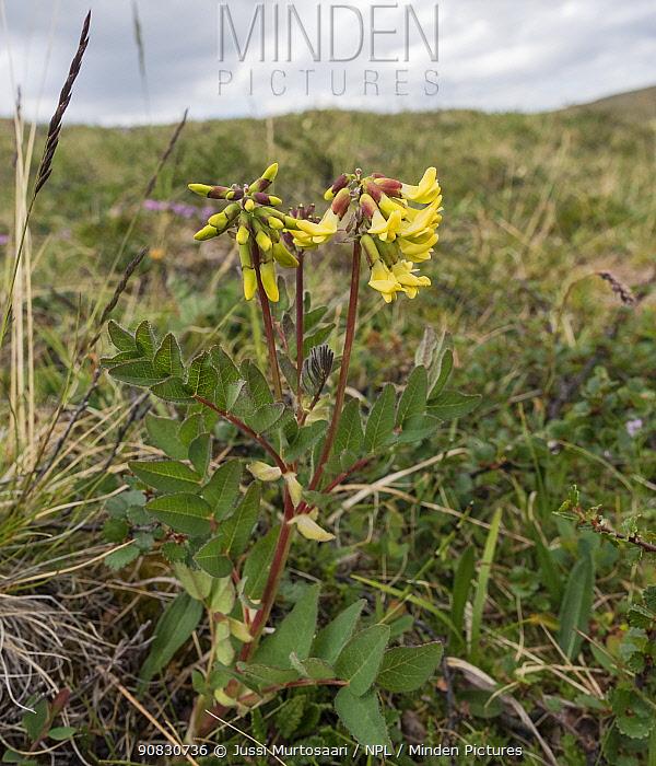 Arctic milk-vetch (Astragalus frigidus), in flower, Finland, July.