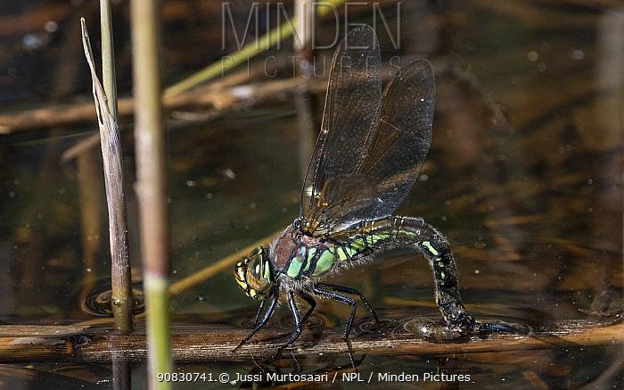 Hairy dragonfly (Brachytron pratense), female laying eggs, Finland, May.