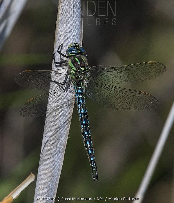 Hairy dragonfly (Brachytron pratense) male resting, Finland, May.
