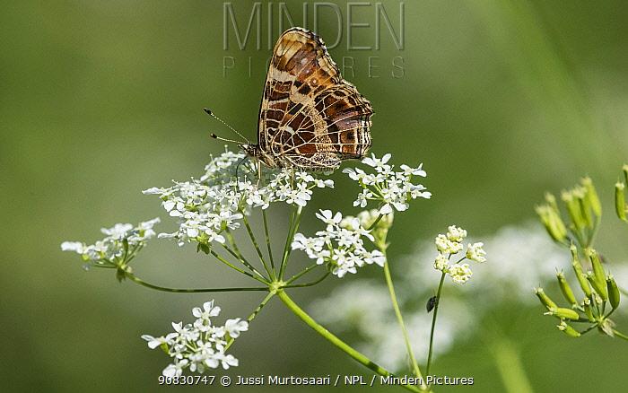 Map butterfly (Araschnia levana), female, Finland, July.