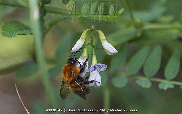 Bumble bee (Bombus schrencki), on flower, Finland, August.