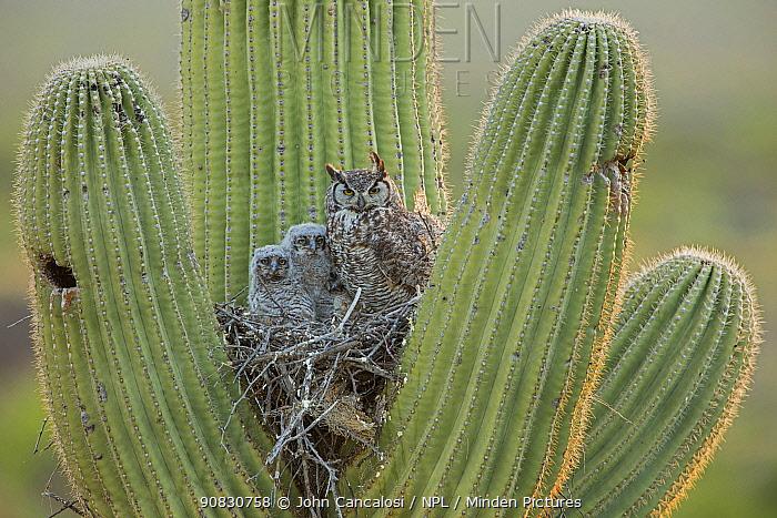 Great horned owl (Bubo virgininus) in nest with chicks in Saguaro cactus (Carnegiea gigantea) Sonoran desert, Arizona, USA.