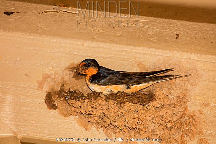 Barn swallow (Hirundo rustica), building nest, Arizona, USA. USA, April.