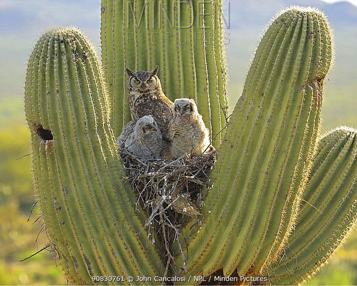 Great horned owl (Bubo virgininus) with chicks in nest in Saguaro cactus (Carnegiea gigantea) Sonoran desert, Arizona, USA.