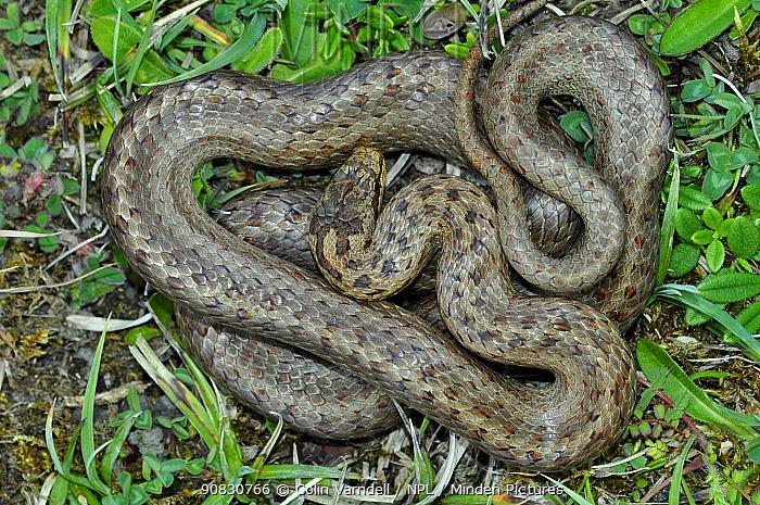 Smooth snake (Coronella austriaca) at Arne RSPB Reserve. Dorset, England, UK, July.