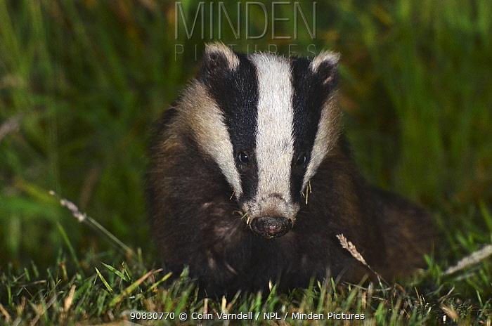 Badger (Meles meles) portrait, Dorset, England, UK, July.